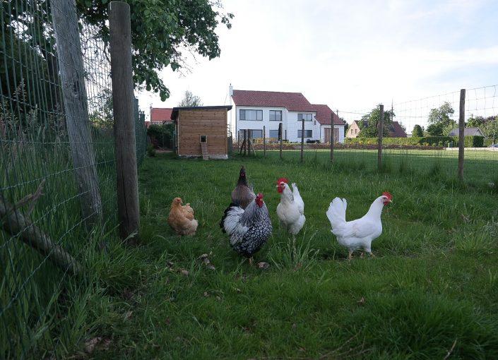 De kippen zorgen voor lekkere eitjes
